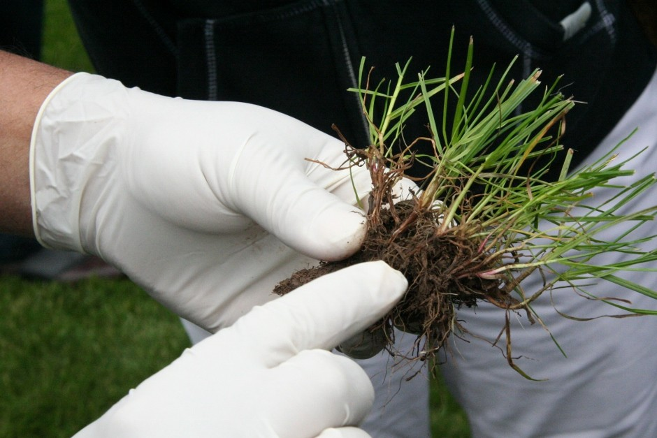Galleon Is A Top Regenerating Perennial Ryegrass
